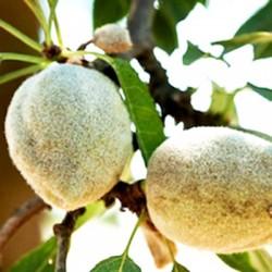 Almond-IXL