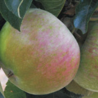 apples_ballerat