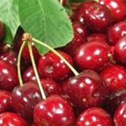Burlatt Cherrie Trees