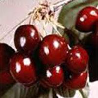 Compact Stella Cherry Tree