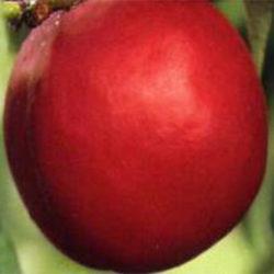 Firebrite Fruit Trees
