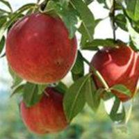 Flamecrest Peach Tree
