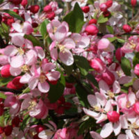 Floribunda Crab Apples