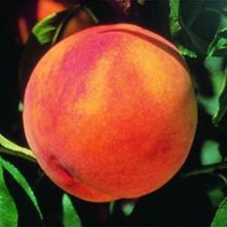 Glohaven Peach Tree