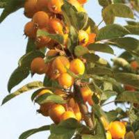 Golden Hornet Crab Apple Trees