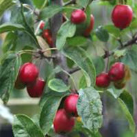 Jack Humm Crab Apple Trees