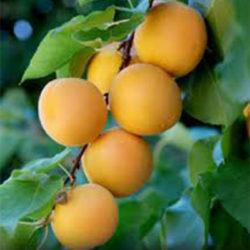 Moorpark Apricot Trees