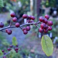 Profusion Crab Apple Trees