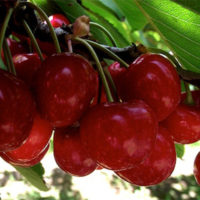 Rosann Cherrie Trees