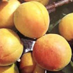 Trevatt Apricot Trees