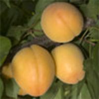 Trigem Apricots